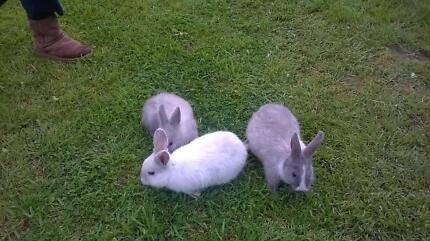 baby rabbits for sale Morphett Vale Morphett Vale Area Preview