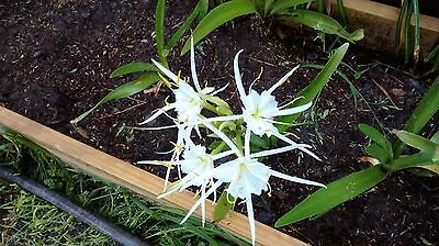 White Spider Lily-- set of 10 bulbs ...
