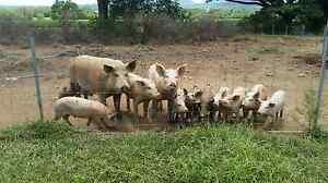 Duroc x landrace pigs El Arish Cassowary Coast Preview