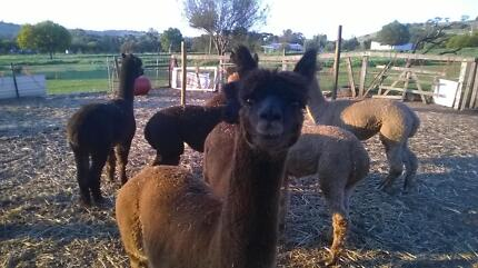Alpaca's Mix of Pets and Guards $200 each or $350 for 2 Toodyay Toodyay Area Preview
