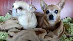 Seeking Tiffany and Coco the Chihuahuas Springbrook Gold Coast South Preview