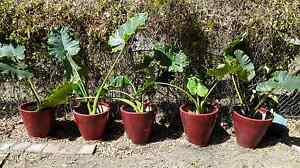5 big pots with plant for sale Leanyer Darwin City Preview