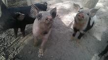 miniature pigs for sale Pipers River George Town Area Preview