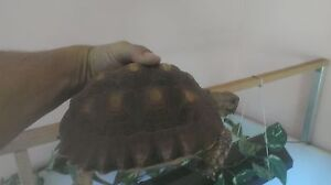 African Spurred Sulcata Tortoise