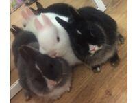 Baby Netherlands dwarf rabbits