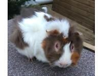 Male guinea pig 5months old