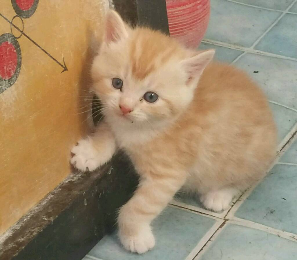 Cute kittens for sale in East Ham London