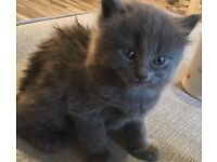 Beautiful grey/blue male kitten