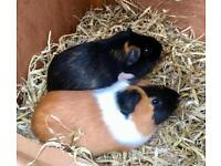 Absolutely Gorgeous & Cute Guinea Pig Brothers