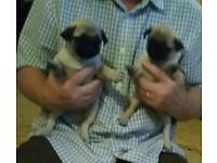 Pug puppies 1 girl 1 boy
