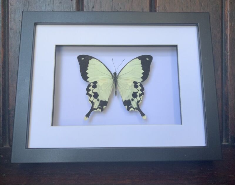 Framed Butterfly,  Papilio Dardanus Butterfly, insect taxidermy
