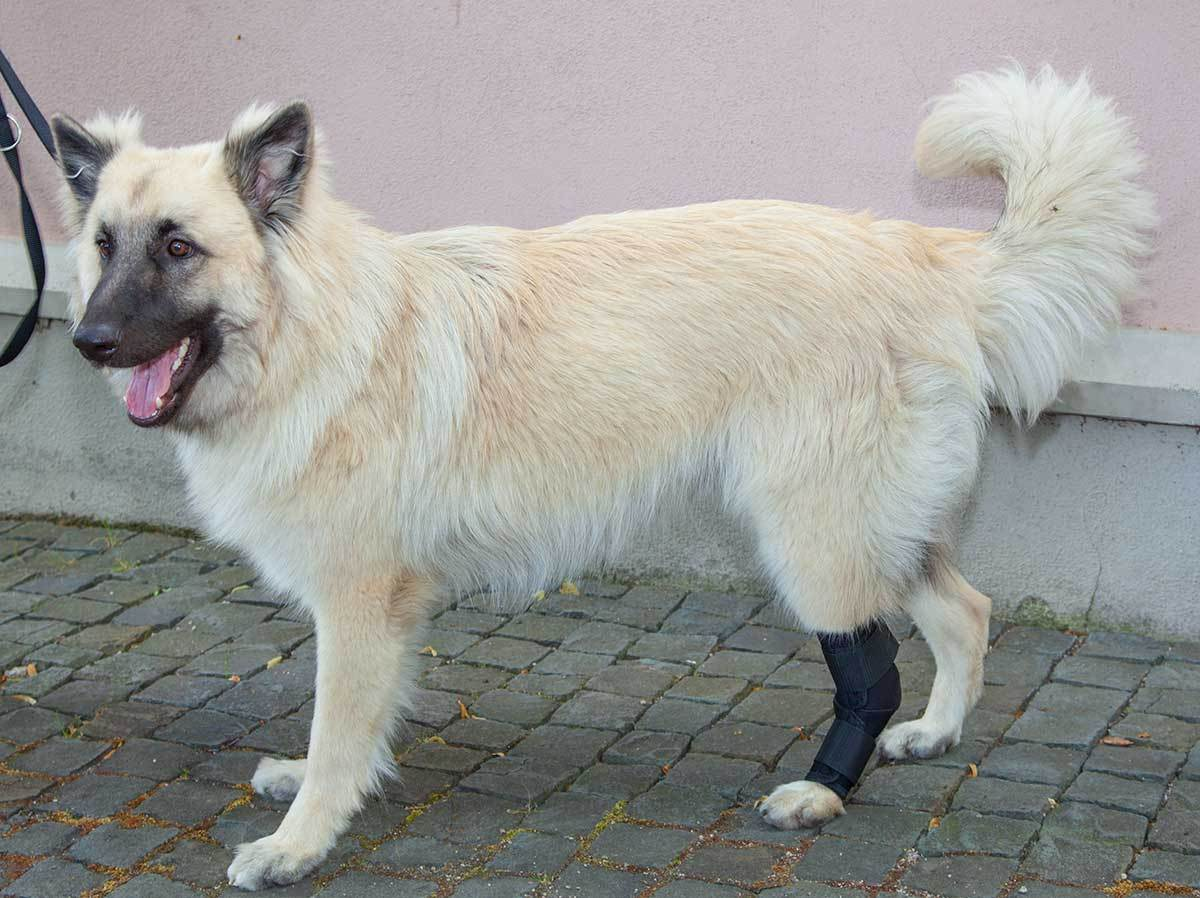 ARTICOLAZIONE DELLA CAVIGLIA Protezione Fasciatura 165° per cani / tarsalgelenk