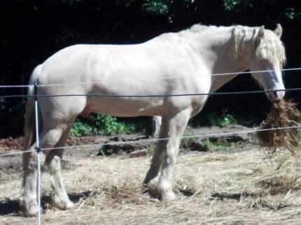 Cremello Welsh D stallion at Stud