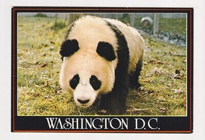 A Giant Panda Bear at the National Zoo in Washington DC Post Card S 33
