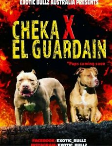 American xl bullies El guardian X cheka