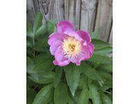 Pink Peonie Plant