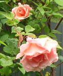 rose-dee