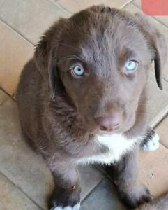 Regretful rehoming Labrador X puppy