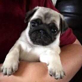 KC Reg Pug Pups *Ready 21st Oct*