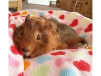 Male guinea pig needing to be rehomed