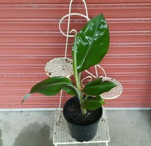 Lady finger banana plant in pot