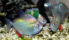 6 silver dollars good sizes Jerrabomberra Queanbeyan Area Preview