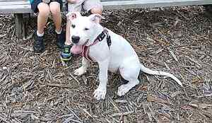 Bull Arab x Bull Terrier Puppy Bli Bli Maroochydore Area Preview