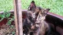 2 kittens available for good homes - 8 weeks old Burpengary Caboolture Area Preview