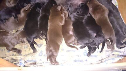 Purebred Labrador Puppies Hillcrest Logan Area Preview