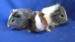 Baby male guinea pigs Mount Pleasant Barossa Area Preview