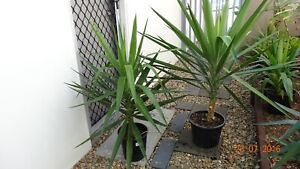 YUCCA PLANTS Robina Gold Coast South Preview