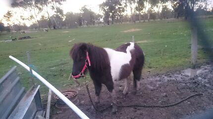Shetland pony Benalla Benalla Area Preview