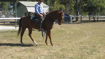 Quarter Horse x Stock Horse mare Chambers Flat Logan Area Preview