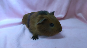 Baby female guinea pigs Mount Pleasant Barossa Area Preview