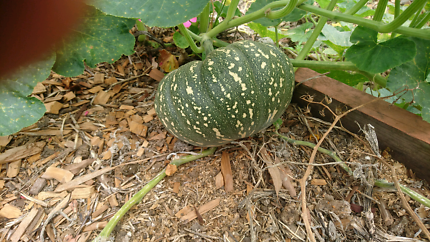 Organic home-grown pumpkins