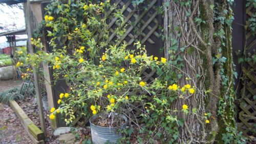 Kerria Japonica  Flowering shrub- 2 rooted -yellow/ gold flower
