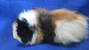 Male texel Guinea pig Mount Pleasant Barossa Area Preview