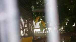 Yellow female Indian ringnecks pair for $180 Wishart Brisbane South East Preview