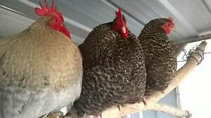 POULTRY MARKET GRAFTON - this Saturday 21 Jan!!! Grafton Clarence Valley Preview