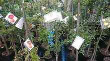 CITRUS TREES   $40-180 sizes Midvale Mundaring Area Preview