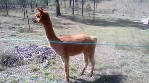 Alpaca - Storm boy Mole River Tenterfield Area Preview