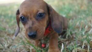 Pure Bred Miniature Dachshund Puppies For Sale