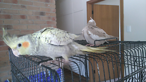Handraised cockatiels Mount Pleasant Barossa Area Preview