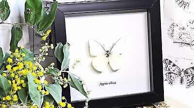 Australian specimen Butterfly for sale  taxidermy shadowbox Appias albina BAAA