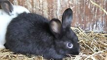 rabbits for Sale- Pure Bred Dwarf Lops + Food & Hay. Sunday Only Rosebud West Mornington Peninsula Preview