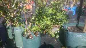 CITRUS TREES   $40-180 sizes Midvale Mundaring Area Preview