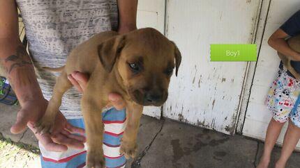 Mastiff x puppies $25 Rockhampton 4700 Rockhampton City Preview