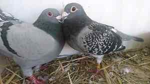Racing pigeons Dandenong Greater Dandenong Preview