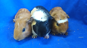 Baby boy guinea pigs Mount Pleasant Barossa Area Preview