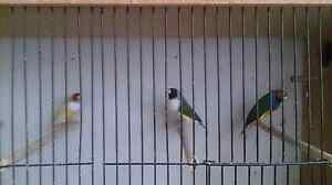 3 Gouldian finches for sale . Banksia Rockdale Area Preview